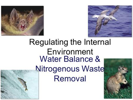 Regulating the Internal Environment Water Balance & Nitrogenous Waste Removal.