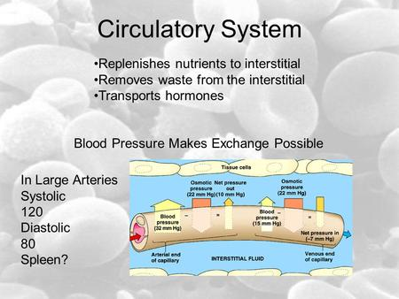 Circulatory System Replenishes nutrients to interstitial Removes waste from the interstitial Transports hormones Blood Pressure Makes Exchange Possible.