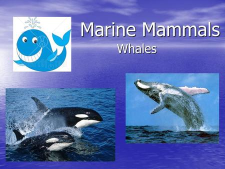 Marine Mammals Whales. Order: Cetacea – 90 species Whales are different from seals and sea lions because they spend their entire lifespan in water. Whales.