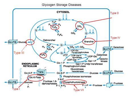 Type 0 I Glycogen Storage Diseases Iv Vii Iii