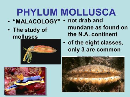 "PHYLUM MOLLUSCA ""MALACOLOGY"" The study of molluscs not drab and mundane as found on the N.A. continent of the eight classes, only 3 are common."