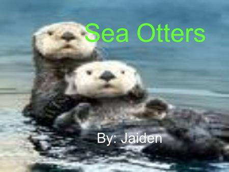 Sea Otters By: Jaiden. What Are They They are marine mammals They are a member of the weasel family They are the heaviest member of weasel family.