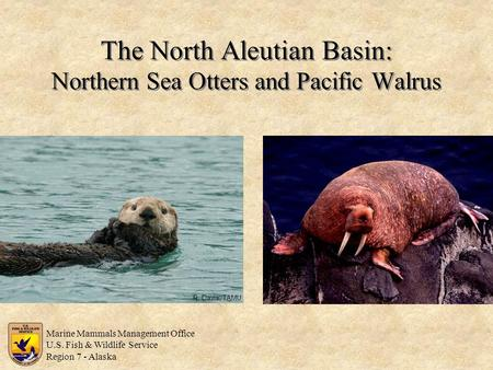 The North Aleutian Basin: Northern Sea Otters and Pacific Walrus R. Davis, TAMU Marine Mammals Management Office U.S. Fish & Wildlife Service Region 7.