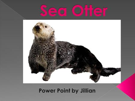 Name of animal is sea otter Scientific name enhydra lutris Sea Otters are different colors They grow up to be 100 pounds Name of animal is sea otter Scientific.