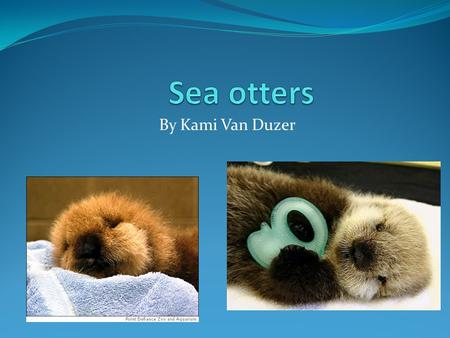 By Kami Van Duzer. what sea otters do most of their time sea otters spend half of there day cleaning their fur. They also spend there day finding there.