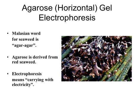 "Agarose (Horizontal) Gel Electrophoresis Malasian word for seaweed is ""agar-agar"". Agarose is derived from red seaweed. Electrophoresis means ""carrying."