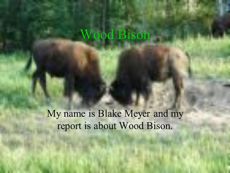 Wood Bison My name is Blake Meyer and my report is about Wood Bison.