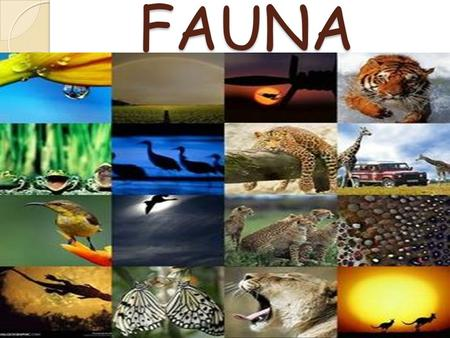 FAUNA. Fauna of Africa Fauna of Africa, in its broader sense, is all the animals living on the African continent and its surrounding seas and islands.