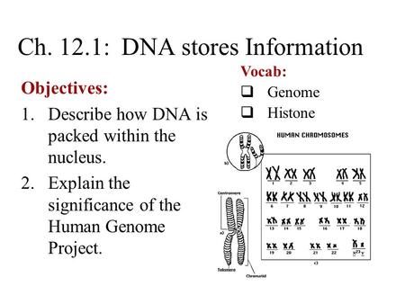 Ch. 12.1: DNA stores Information Objectives: 1.Describe how DNA is packed within the nucleus. 2.Explain the significance of the Human Genome Project. Vocab: