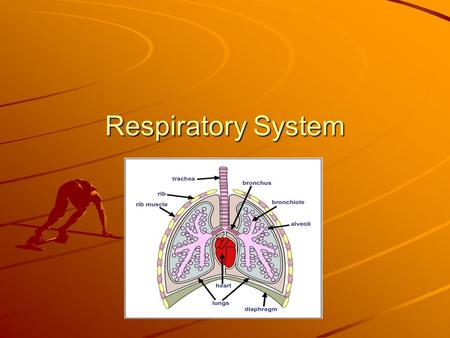 Respiratory System. Lesson 6 vocabulary trachea – the tube through which air moves from your throat to your chest; the windpipe bronchial tubes – two.