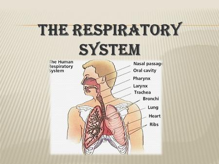 The respiratory system.  Humans breathe air into paired lungs through the nose and mouth during inspiration.  Whilst air is in the lungs gaseous exchange.