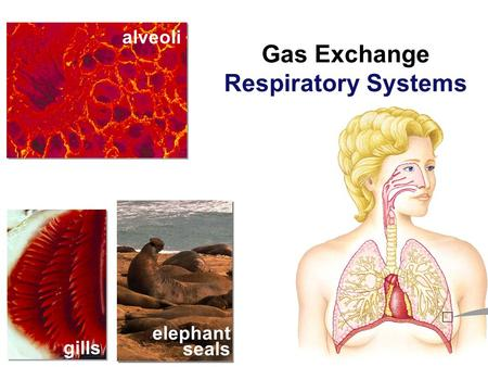 gills alveoli elephant seals Gas Exchange Respiratory Systems.