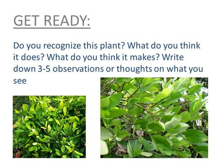 GET READY: Do you recognize this plant? What do you think it does? What do you think it makes? Write down 3-5 observations or thoughts on what you see.