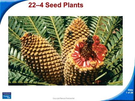 Slide 1 of 28 Copyright Pearson Prentice Hall 22–4 Seed Plants.