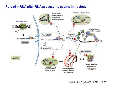 Fate of mRNA after RNA processing events in nucleus Hafidh Adv Exp Med Biol. 722:118, 2011.