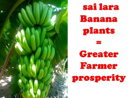 Sai lara Banana plants = Greater Farmer prosperity.