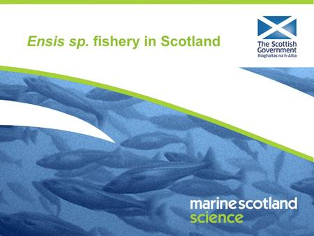 Ensis sp. fishery in Scotland