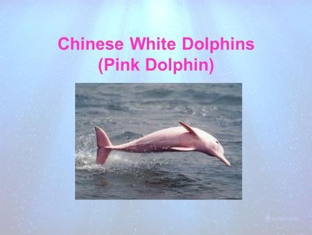 Chinese White Dolphins (Pink Dolphin)