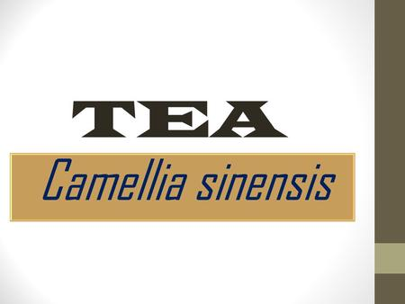 Camellia sinensis TEA.  Camellia is an evergreen shrub or tree, which grows wild from India to China.  There are about 45 species of Camellia of which.
