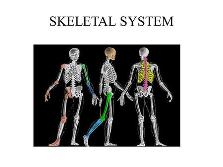 SKELETAL SYSTEM 206 total bones: 80 axial, 126 appendicular FUNCTION OF BONE: 1. Structure & support (skeletal system provides framework for body to.