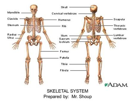 SKELETAL SYSTEM Prepared by: Mr. Shoup. Skeletal System Know 4 of the 6 Six Purposes for the Skeletal System 1. Support 2. Movement with muscle function.