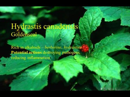 Hydrastis canadensis Goldenseal Rich in alkaloids – berberine, hydrastine Potential actions:destroying pathogens, reducing inflammation.