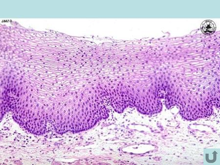 Skin (Integument) Figure 5.3 Epidermis Layers of the Epidermis: STRATA = LAYERS Epidermis CGSBDCGSBD CGSBDCGSBD.