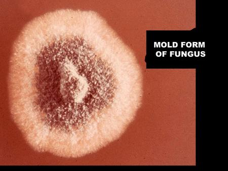 "MOLD FORM OF FUNGUS. ""SUPER FUNGUS"" FRUITING BODY OF PENICILLIUM."