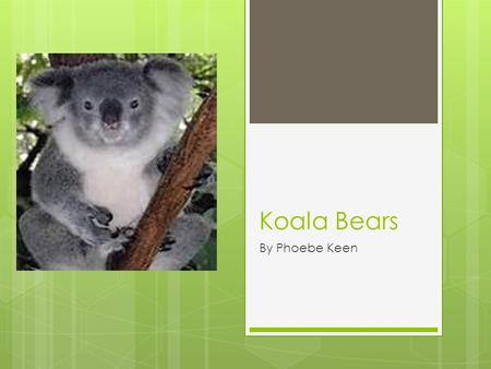 Koala Bears By Phoebe Keen. Basic facts KKoala bears are Mammals. TThey live for 17 years. KKoalas are 30 pounds. TThey have big black noses.
