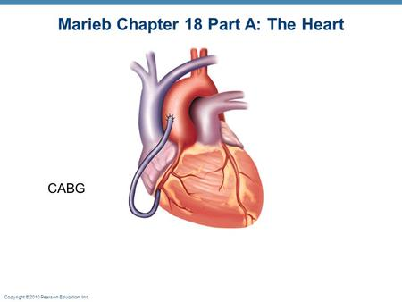 Marieb Chapter 18 Part A: The Heart