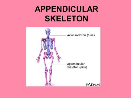 APPENDICULAR SKELETON. Pectoral/Shoulder Girdles Consists of the clavicle and scapula The pectoral girdles and their associated muscles = your shoulders.