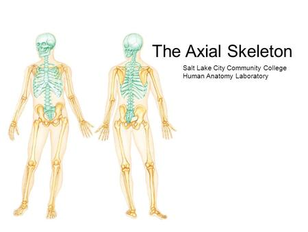 The Axial Skeleton Salt Lake City Community College Human Anatomy Laboratory.