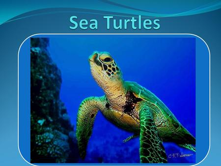 Sea turtles are large, air- breathing reptiles that inhabit tropical and subtropical seas throughout the world. Sea turtles' bodies are covered with shells.