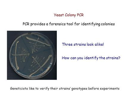 Yeast Colony PCR PCR provides a forensics tool for identifying colonies Three strains look alike! How can you identify the strains? Geneticists like to.