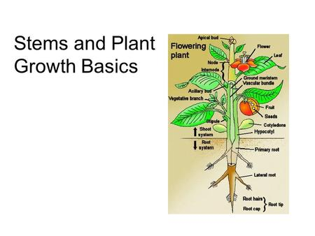 Stems and Plant Growth Basics. Shoots vs. Roots Stems are part of the shoot system (stems, leaves, flowers) The shoot system depends on the roots for.