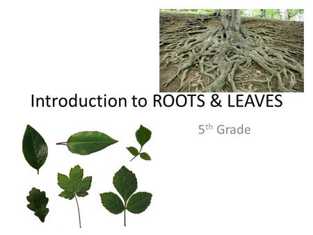 Introduction to ROOTS & LEAVES 5 th <strong>Grade</strong>. How do roots help a <strong>plant</strong> survive? 1) They hold them in the ground  anchor them Help keep <strong>plants</strong> from getting.