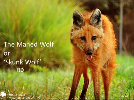 The Maned Wolf or 'Skunk Wolf' RD. Family, Genus, and Species Family- Canidae Genus- Chrysocyn (the only species) Species- C.brachyurus.