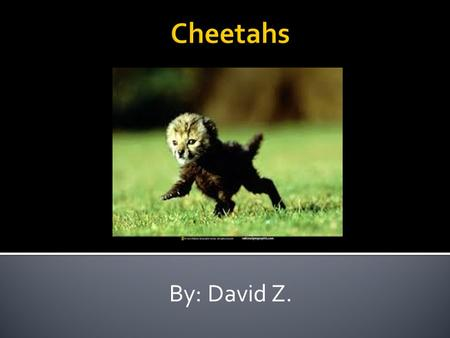 By: David Z.. Cheetahs look cool. They are 7 feet long. When they are born they have gray fur. They have yellow fur and black spots.