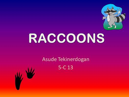 Asude Tekinerdogan 5-C 13. Raccoons are small animals. Raccoon 's den is very small. Raccoon 's colour is brown. They live in the den. Raccoon babies.