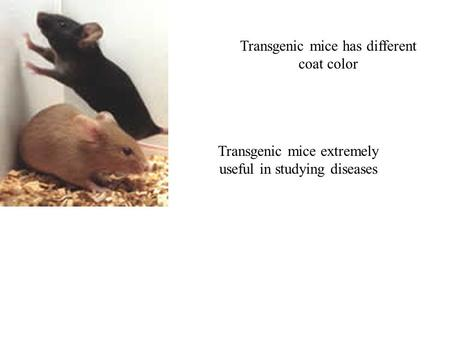 Transgenic mice has different coat color Transgenic mice extremely useful in studying diseases.