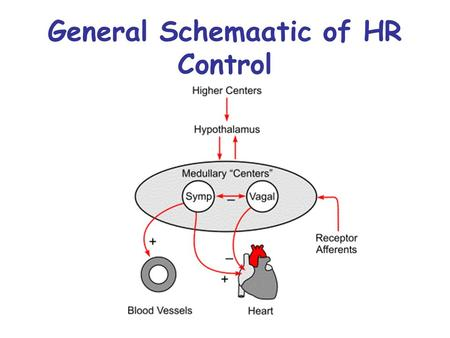 General Schemaatic of HR Control. Regulation of Cardiac Cycle Autonomic nerve impulses alter the activities of the S-A and A-V nodes.