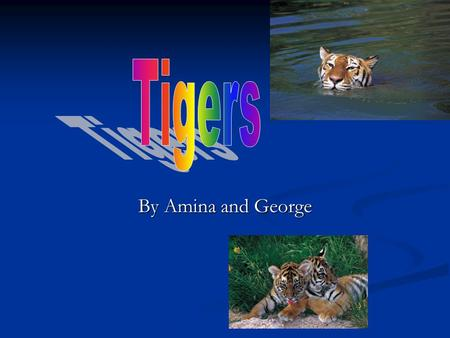 By Amina and George. Amazing facts!!!!!!!! Tigers live in a continent called Asia. Most Tigers will live in forests. Tigers live in a continent called.