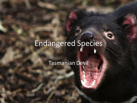 Endangered Species Tasmanian Devil. Interesting Facts about the Tasmanian Devil 1.Tasmanian Devils can only see in black and white. 2.An adult devil weighing.