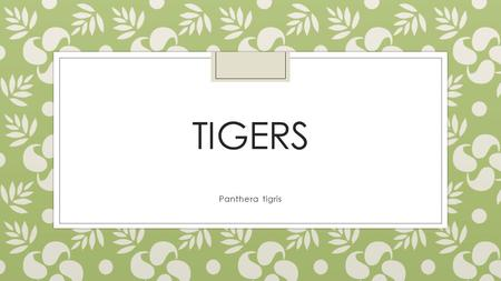 TIGERS Panthera tigris. Basic Info 9 subspecies- 3 extinct Endangered Largest Asian cat species Weight: 220-670 lb. Length: 4-10 ft. Habitat: forests.