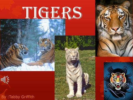 Tigers By :Tabby Griffith.