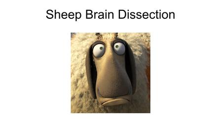 Sheep Brain Dissection. Introduction Today we will be dissecting a sheep brain In order to proceed today you will need to make sure that you will be able.