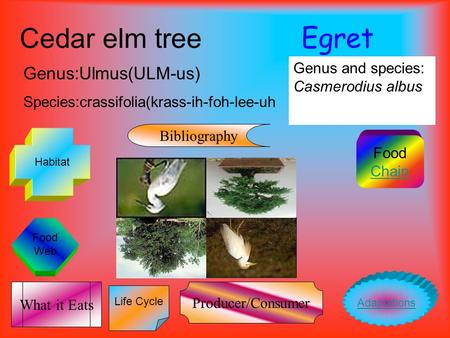 Food Web Egret Genus and species: Casmerodius albus Cedar elm tree Genus:Ulmus(ULM-us) Species:crassifolia(krass-ih-foh-lee-uh Food Chain Life Cycle Habitat.