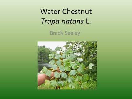 Water Chestnut Trapa natans L. Brady Seeley. Distribution.