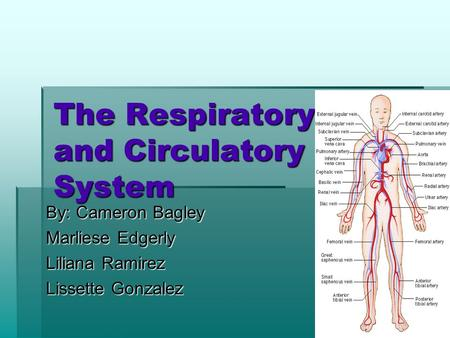 The Respiratory and Circulatory System By: Cameron Bagley Marliese Edgerly Liliana Ramirez Lissette Gonzalez.