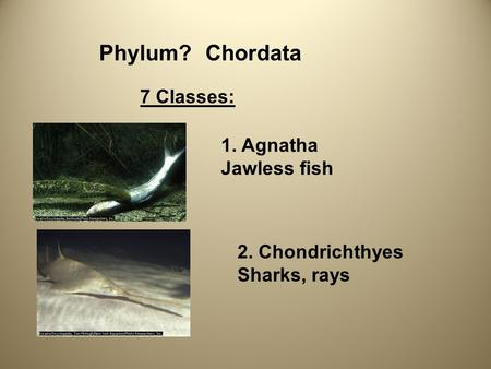 Phylum?Chordata 7 Classes: 1. Agnatha Jawless fish 2. Chondrichthyes Sharks, rays.
